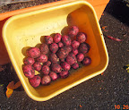 finally harvested red potatoes - planted April 7 (6 and a half months)