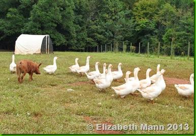 Pig chasing ducks