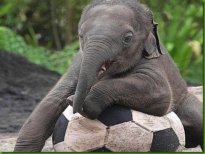 Baby Elephant Is Jumbo Footballer