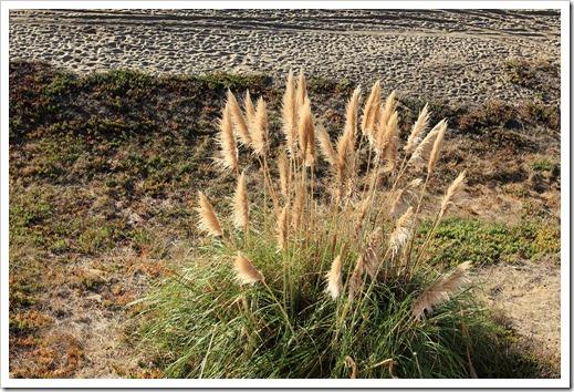 121028_SantaCruz_pampas-grass