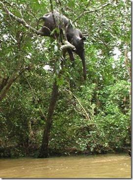 Dead-elephant-in-tree