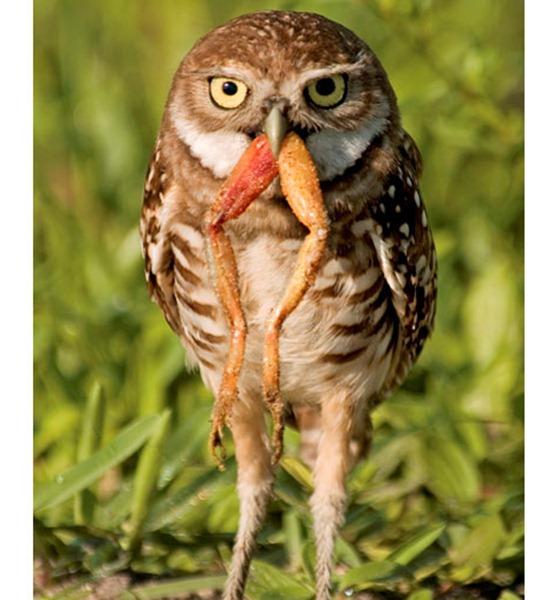 owl-frog_1817673i