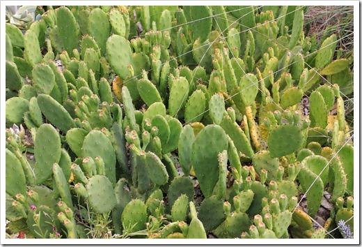 Opuntia-compressa_02