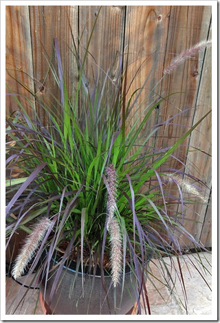 110707_frontyard_purple_fountain_grass