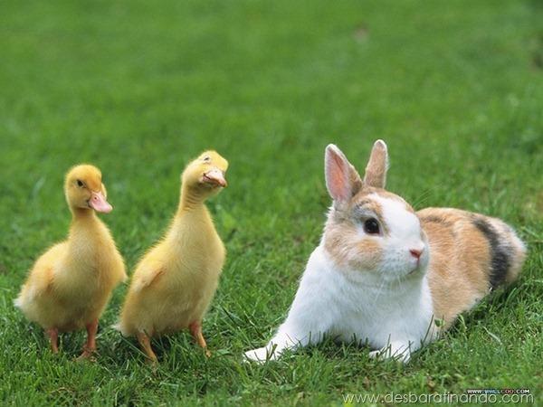 filhotes-patos-fofos-pequenos-desbaratinando (6)