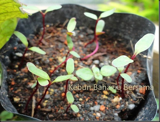 Forono seedlings