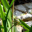 Wasp spider (female)