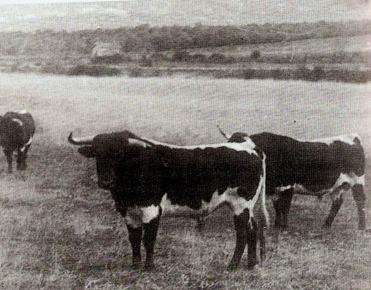 Toros de V Martinez (Berrendos) 001
