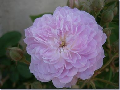 Giardino iris e rose 297