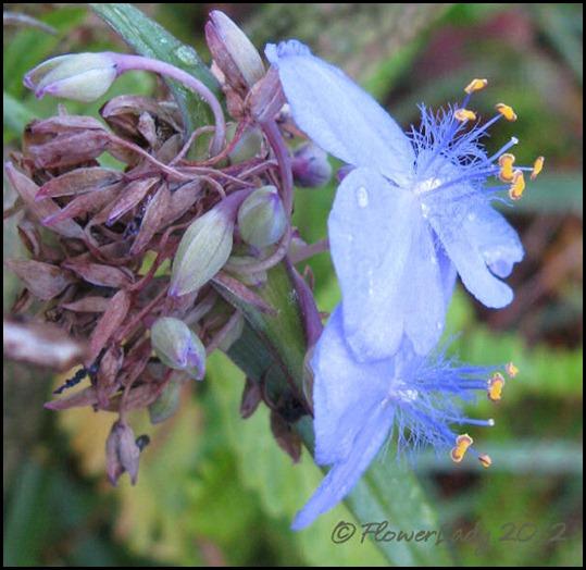 01-23-spiderwort