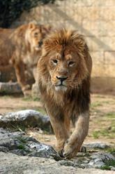 besançon lion d'Asie