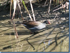 6302 Texas, South Padre Island - Birding and Nature Center guided bird walk - Common Moorhen now called 'Common Gallinule'