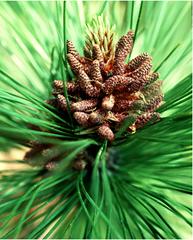 Pinus male cone