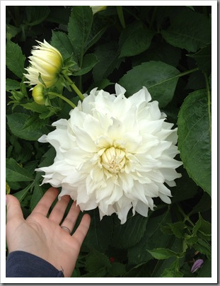 white dahlia, with Last Frontier hand for scale