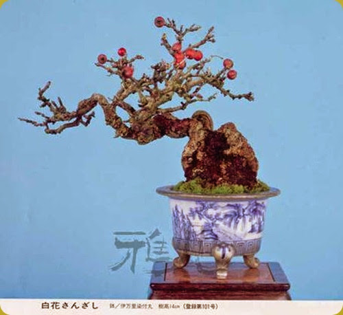 Biancospino pianta spinosa ed arbustiva altamente for Tipi di bonsai