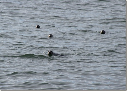 Harbor Seals, Chesapeake Bay