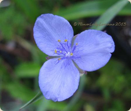 05-15-spiderwort