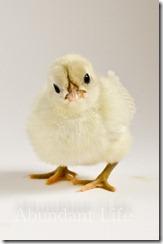 ChicksApr29-9105