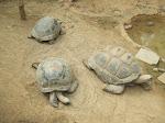 des tortues géantes