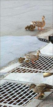 poor duckling