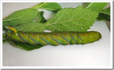 Acherontia lachesis-20120115_DS42