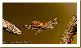 Regal Jumping Spider_ROT4556  NIKON D3S September 16, 2011