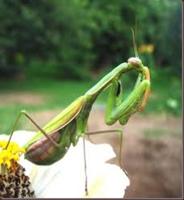 Amazing Pictures of Animals photo Nature exotic funny incredibel Zoo Mantis Arthropodo Insect. Alex (5)