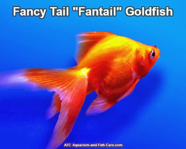 What you need to know about keeping goldfish goldfish for Koi goldfish care