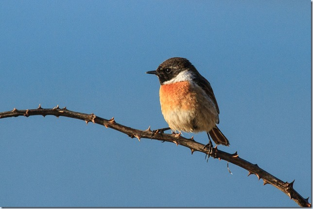Lleyn_Stonechat-1