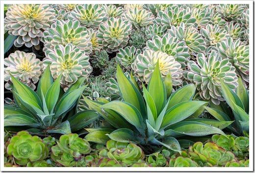120929_SucculentGardens_Aeonium-Sunburst- -Agave-attenuata-variegata