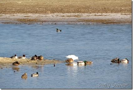 Sleepy Mallards and Common Merganser, with one gull