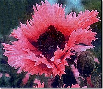 Poppy_Oriental_PinkRuffles