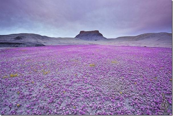 【沙漠鐑草Desert with Phacelia (Scorpion Weed)】好幾年才開一次花。