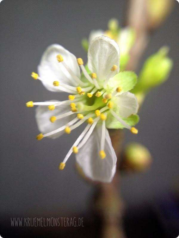 weiße Kirschblüte (02)