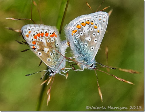 17-mating-common-blues