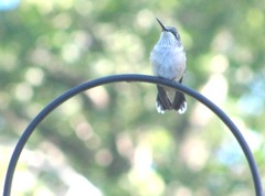 2011 hummingbird morning after Hurricane Irene1