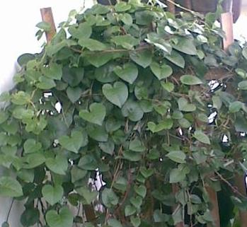 khasiat dan manfaat daun binahong dalam dunia kesehatan