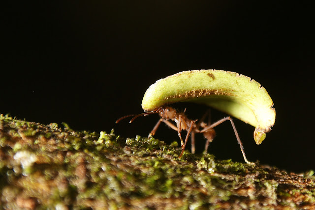 A leaf cutter ant carries plant material to his nest.  Leaf cutter ants cultivate fungus on leaves they bring into their nests.