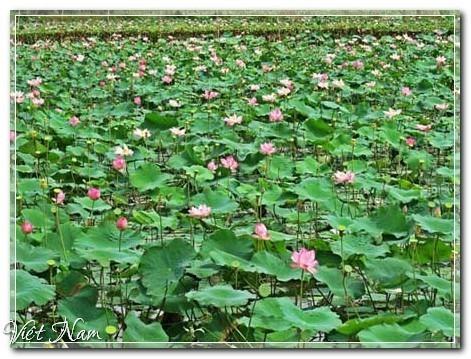 Ngắm cánh đồng sen bạt ngàn ở miền Tây, Đồng Tháp, Việt Nam