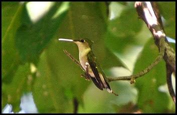 4c - Hummingbird