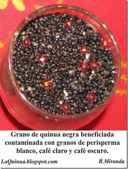 Granos de quinua negra feneficiada