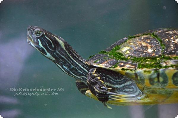 Zoo Frankfurt Wasserschildkröte 150813 (3)