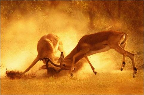 Wild-Animals-Fights-16