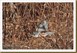 - Kingfisher flight ROT_1962 January 02, 2012 NIKON D3S