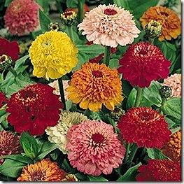 zinnia_scabiosa_flowered_mix_2