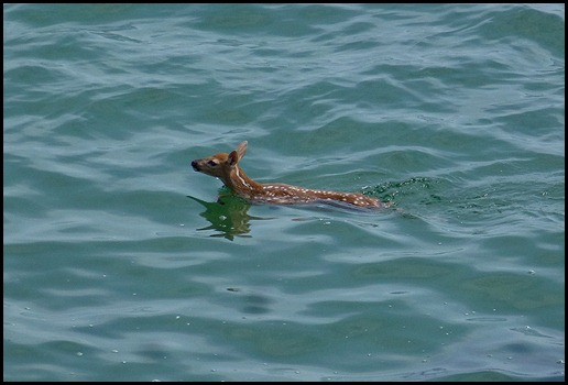 08i1 - Marginal Way - fawn in ocean