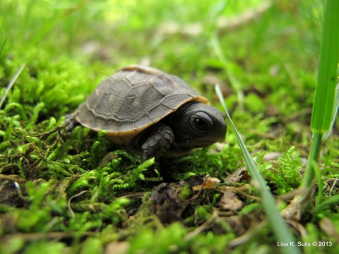 baby box turtle profile