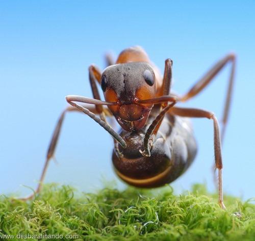 formigas inacreditaveis incriveis desbaratinando  (16)