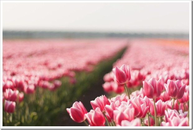 beautiful_pink_tulips__by_by_sannee-d3eci6p (1)