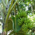 Bananenpflanze mit noch grünen Bananen © Foto: Angelika Krüger | Outback Africa Erlebnisreisen